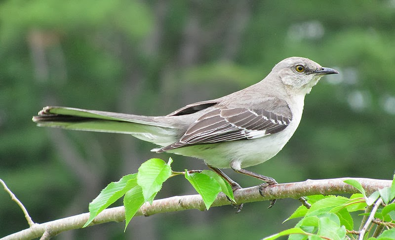 The Official State Bird Of Florida Is Mockingbird Northern Mockingbirds Have Extraordinary Vocal Abilities