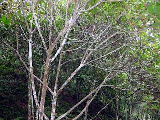 cinchona plant