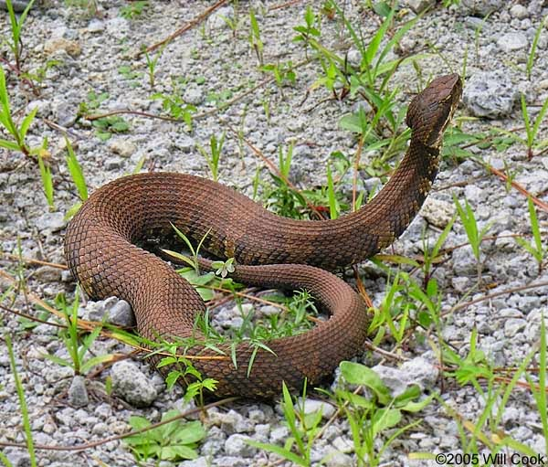 The American Cowboy Chronicles: America's Most Venomous Snakes