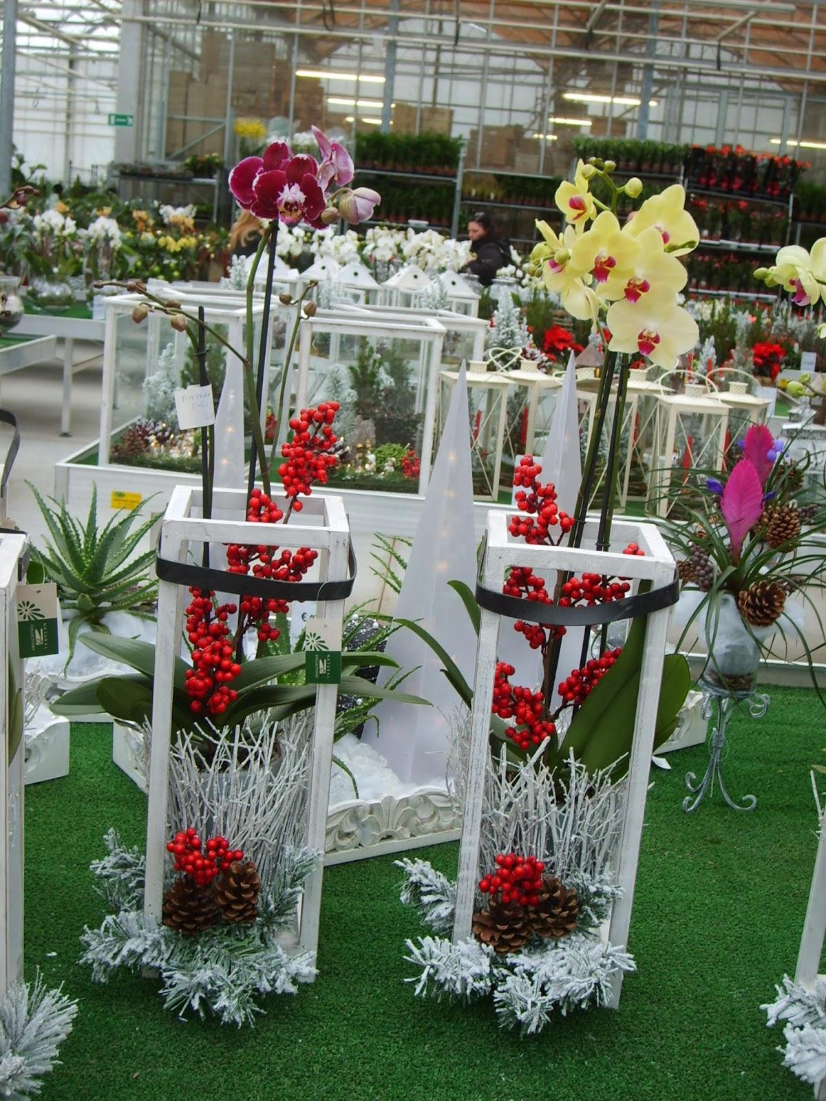 Confezioni Piante Natalizie : Fiorista il petalo