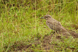 Water Thick-knee (James Hogg)