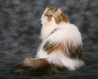 Trik Merawat Kucing Persia