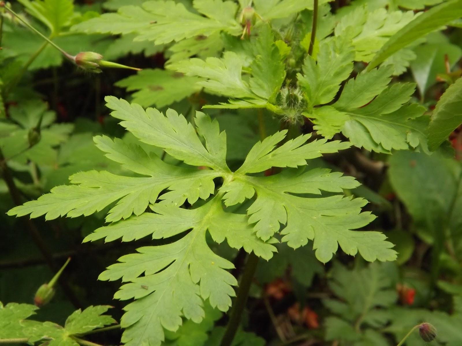 Le jardin de la salamandre geranium yeoi - Geranium feuilles qui jaunissent ...