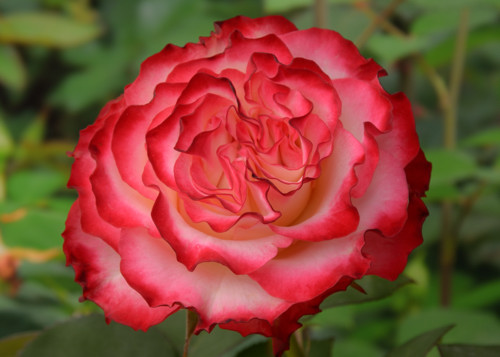 Spanish Dancer rose сорт розы фото