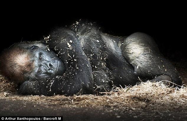 Gorila berehat setelah mengawan dengan 4 betina dalam sehari