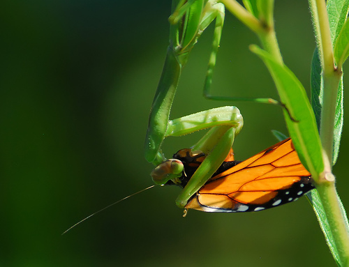 preying mantis eating butterfly