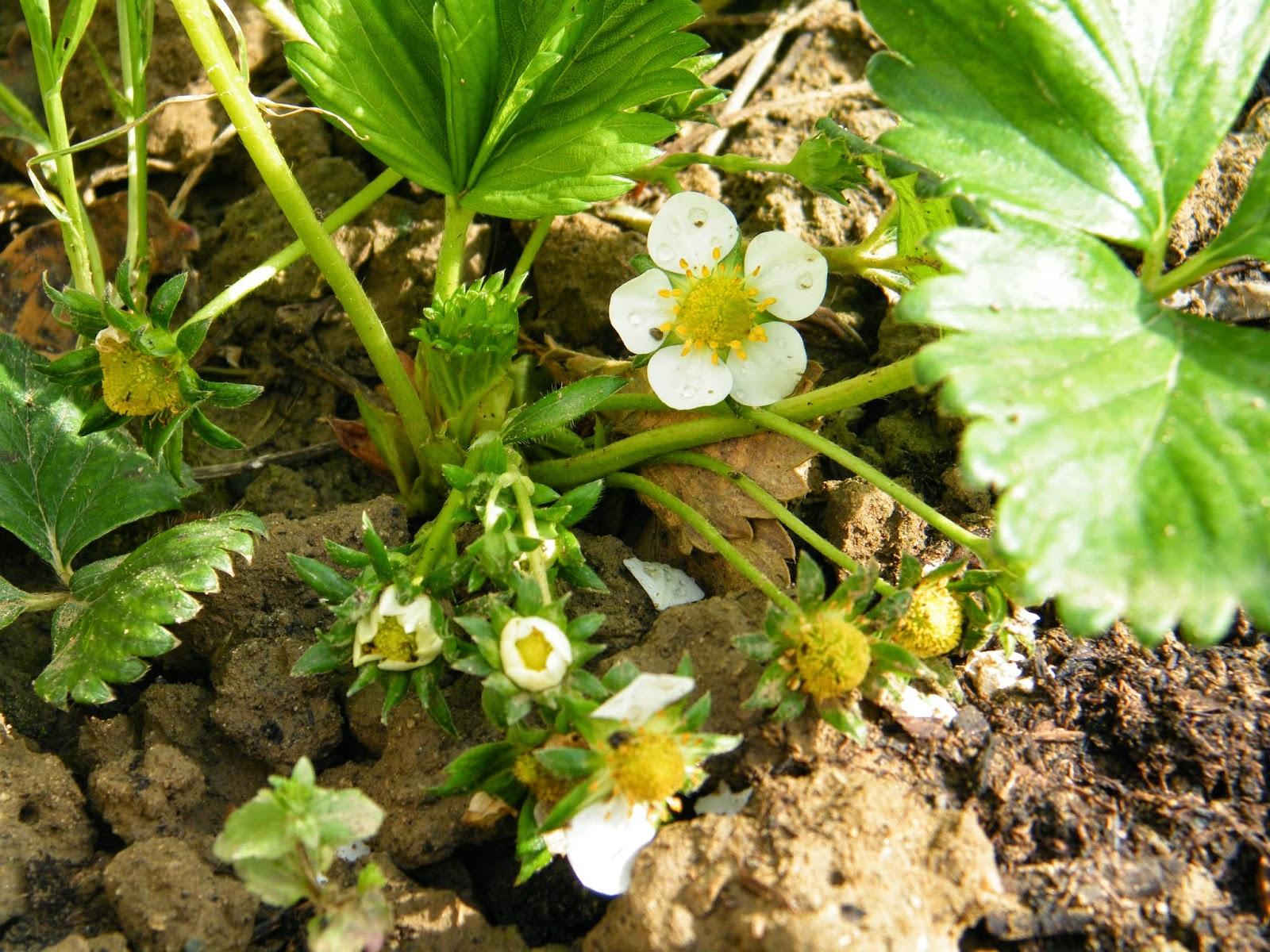 Il mio blog in uno zaino il risveglio della natura for Pianta fragole