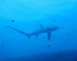 Philippines diving, thresher sharks, malapascua scuba diving