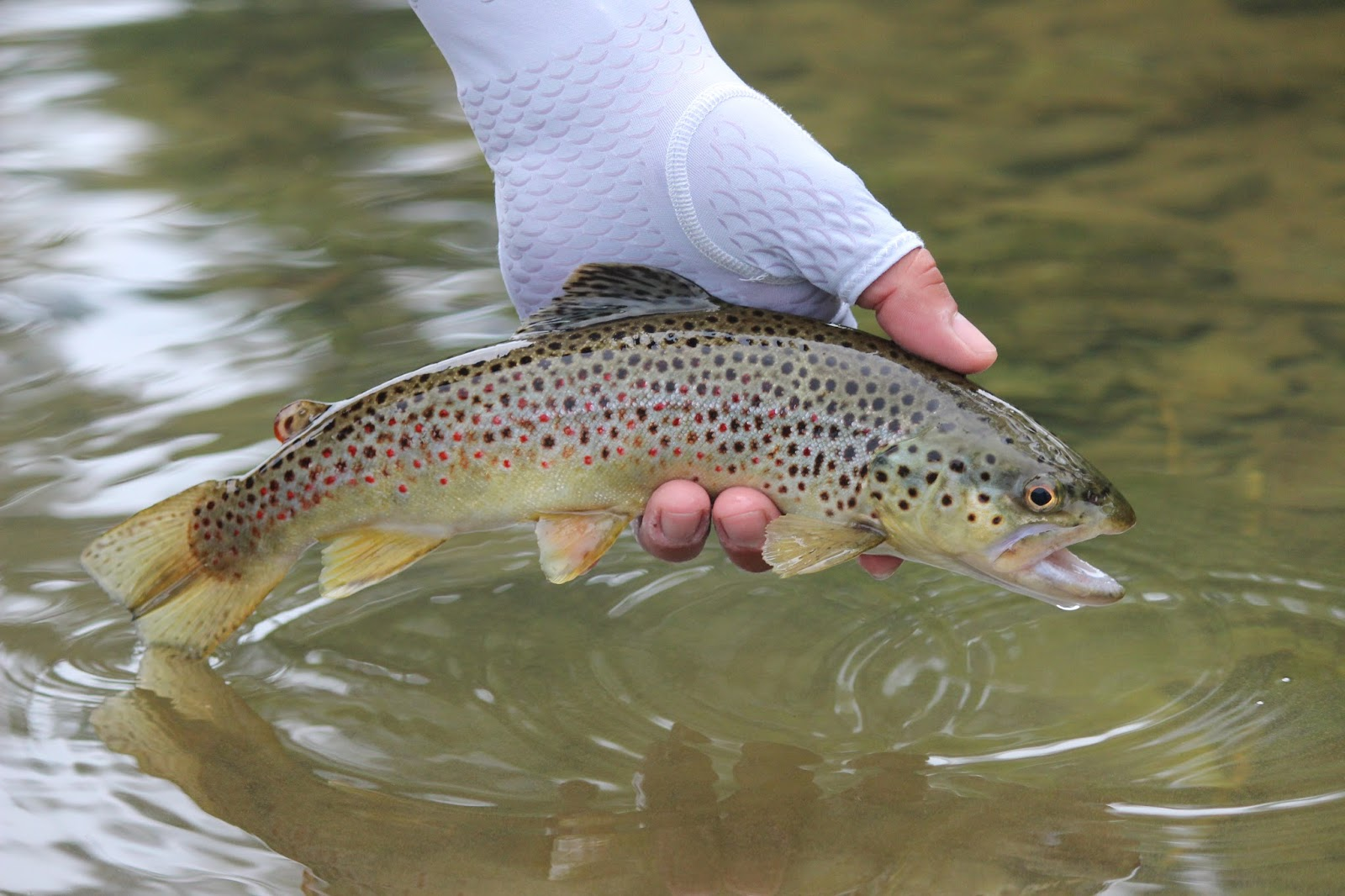 Wny fly fishing wny fly fishing stream report 8 30 2015 for Trout fishing ny