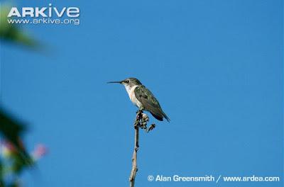 http://www.arkive.org/chilean-woodstar/eulidia-yarrellii/image-G121607.html