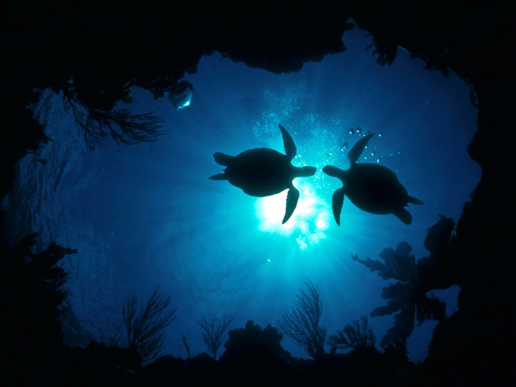 Sea Turtles Swimming in the Ocean