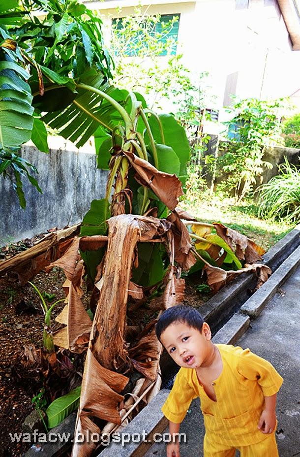 pokok pisang nangka tumbang kena ribut