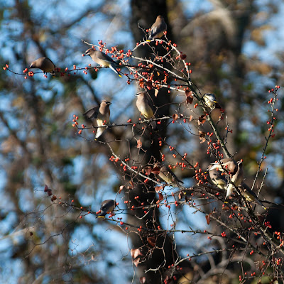 Cedar Waxwings, Grapevine Lake