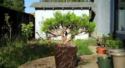 bonsai preparation