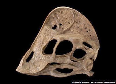 Anzu skull