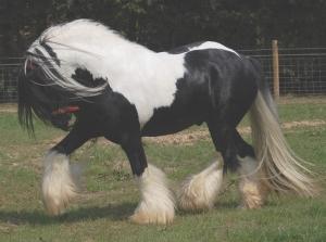 Gypsy Cob UK: Kent Gypsy Horses