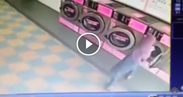 [VIDEO] ZALIM ! Gadis Bertudung Tendang Dan Masukkan Kucing Dalam Mesin Basuh