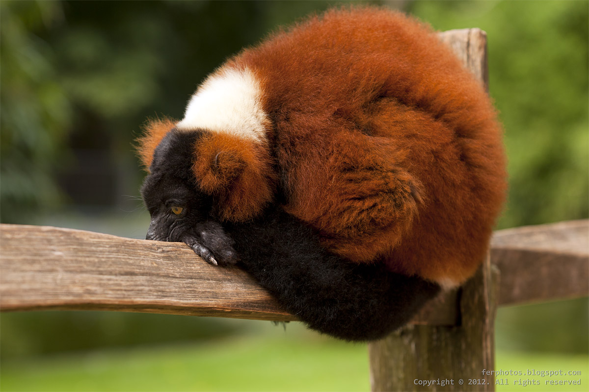 Red Ruffed Lemur thoughtful thinking monkey Artis Zoo Amsterdam Madagascar