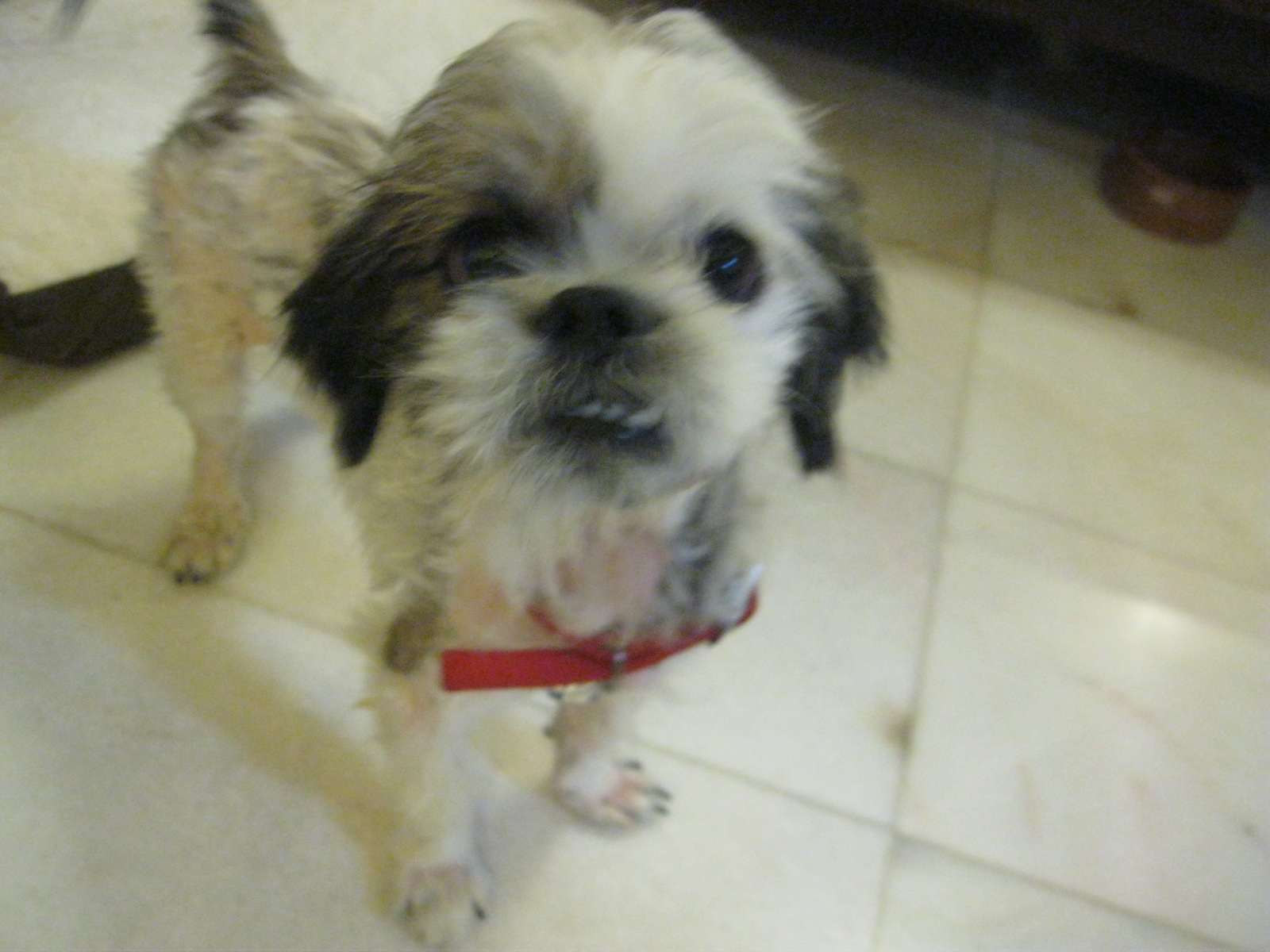 Husky Mixed With Shih Tzu Vincent, the shih tzu adopted