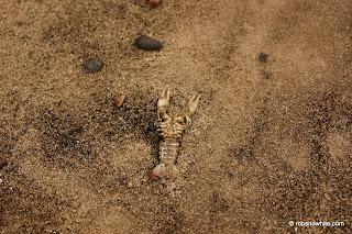 big dead crayfish