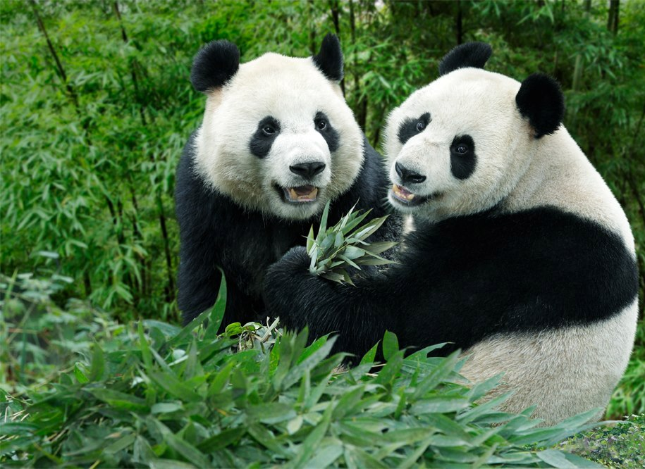 Giant pandas Kai Kai and Jia Jia