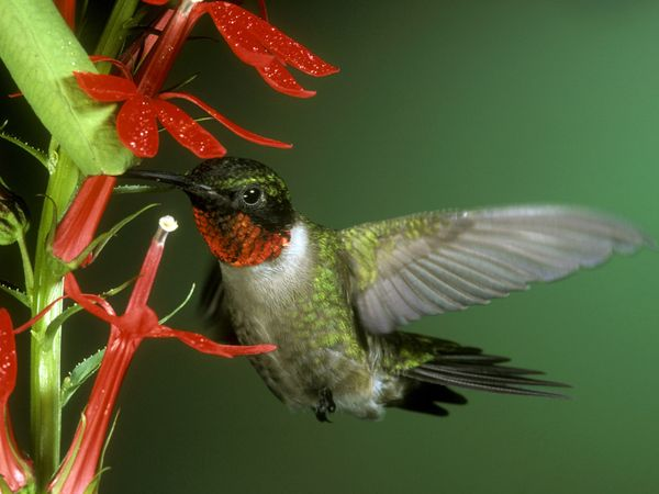 ruby red humming birds 2018-6-15 ruby-throated hummingbirds are the smallest birds in  adult males have a bright red throat and  pollen gets on the humming- bird's beak as it.