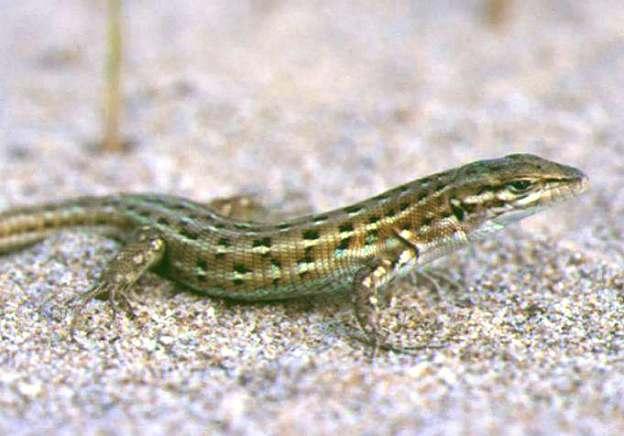 http://1.bp.blogspot.com/-XCM_rhtsyH8/TcAImUP03vI/AAAAAAAAAiI/GATaHHp5pFw/s1600/lagartija.jpg