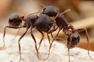 Semut Malagasi