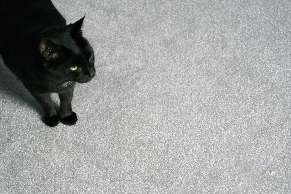 Black cat (Gizmo) against grey carpet