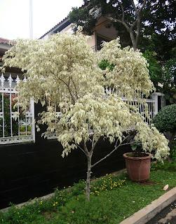 pohon beringin putih