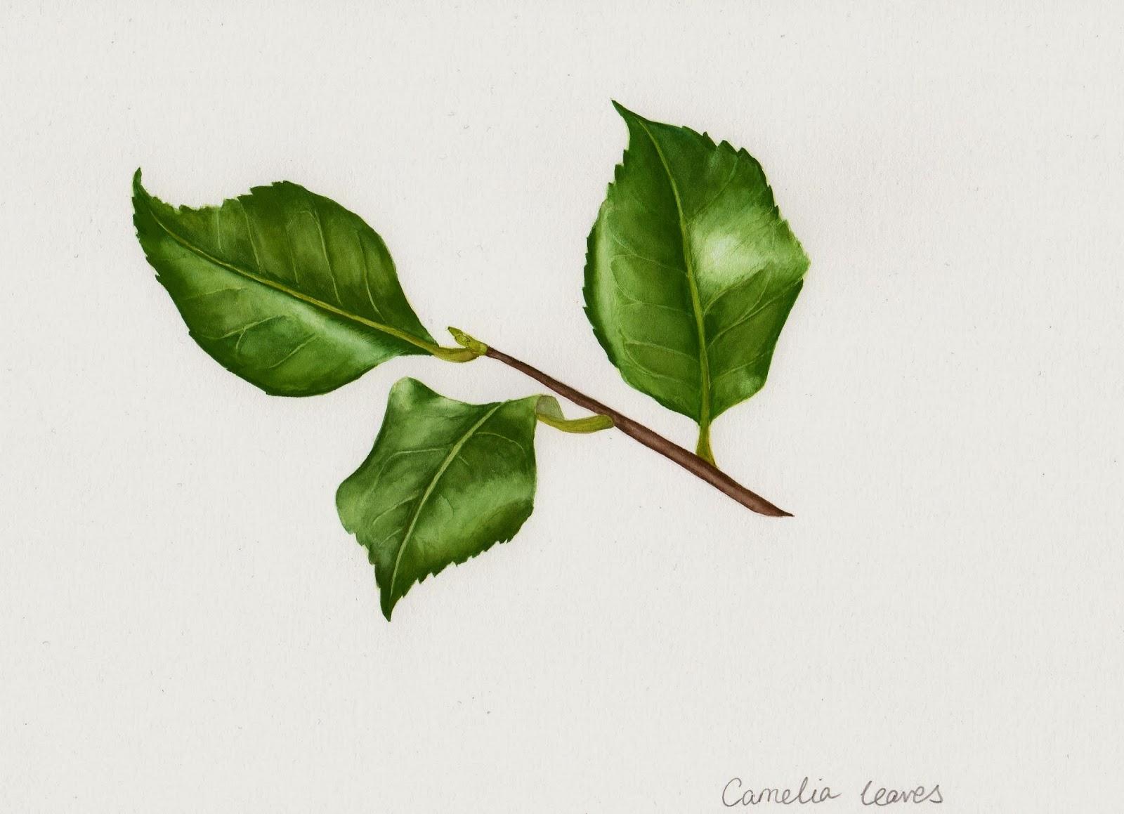 Drawings of Botanical Things: Camelia leaves