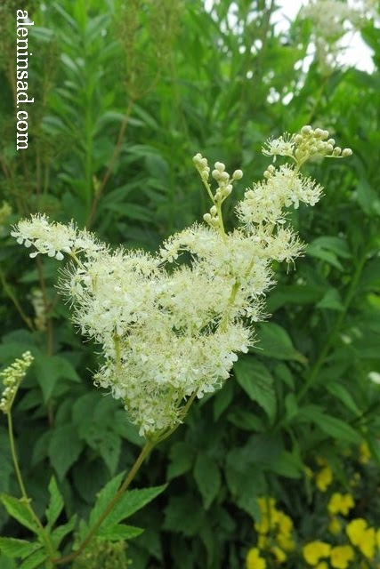 лабазник, вязолистный, таволга, Filipendula ulmaria, аленин сад, цветы, июль