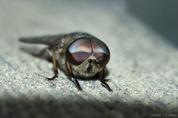 Male Horsefly - Hybomitra hinei