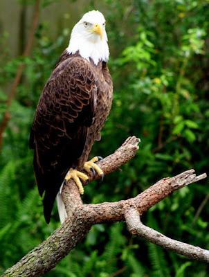 Aguila real en la cima de un árbol esperando a su presa