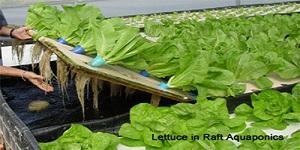 Aquaponics commercial aquaponics hydroponics grow for Hydroponic raft system design