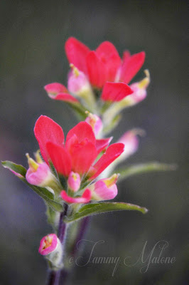 Indian Paintbrush, Texas Wildflower, Tammy Malone