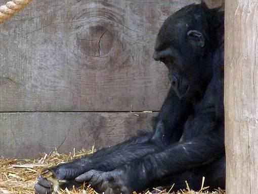 Gorila Si Pencuri Anak Bebek Yang Baik Hati dan tidak sombong