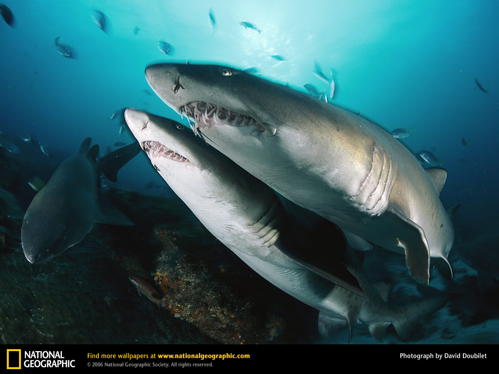 Sand tiger shark information amp pictures of sand tiger sharks - Sharks Are Some Of The World S Most Dangerous Deep Sea Creatures Pic By David Doublet