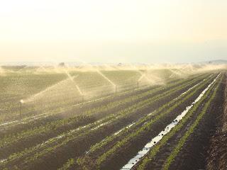 Sprinkler irrigation rice field photo - Sant Carles de La Rápita - Spain