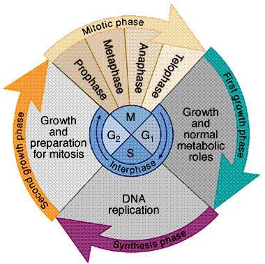 Proses siklus sel pada mamalia dan peran p53 dalam siklus sel ccuart Choice Image