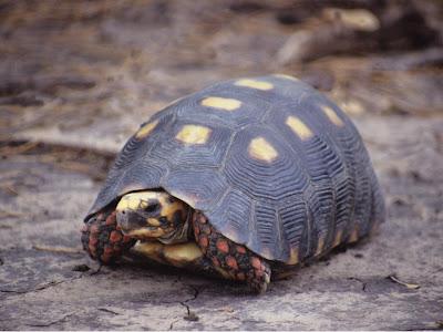 tortuga de patas rojas Chelonoidis carbonaria