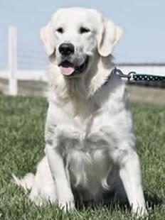 See more White golden retriever http://cutepuppyanddog.blogspot.com/