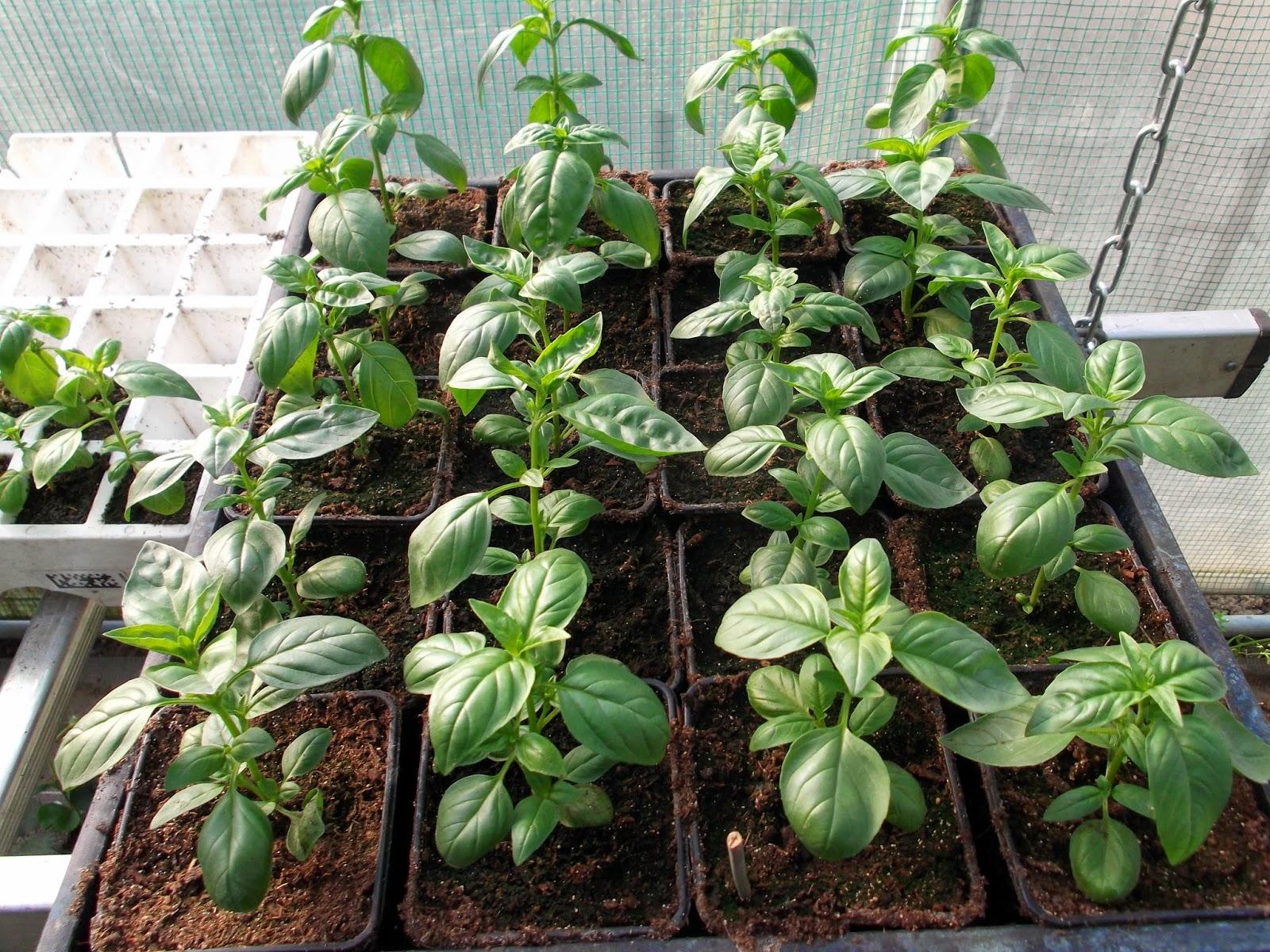 Passion tomates le basilic demande tre repiqu en pleine terre - Quand repiquer les tomates en pleine terre ...