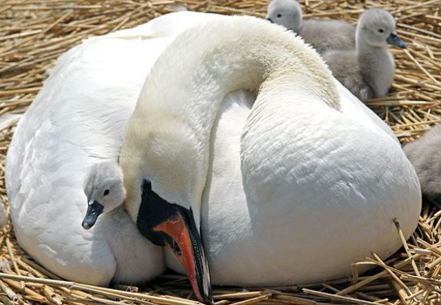 baby swan and mommy, funny animal pictures of the week