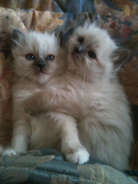Price range of a Birman Kitten