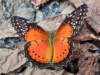 7 Jenis Kupu-kupu Paling Menakjubkan Di Dunia [ www.Bacaan.ME ]
