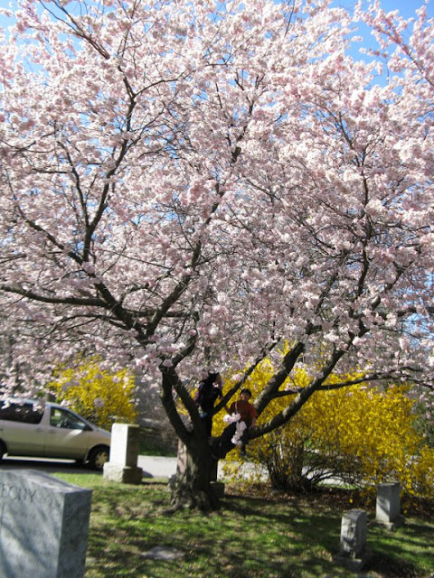 My two kids in a flowering Japanese cherry in full bloom at Mount Pleasant Cemetery by garden muses: a Toronto gardening blog
