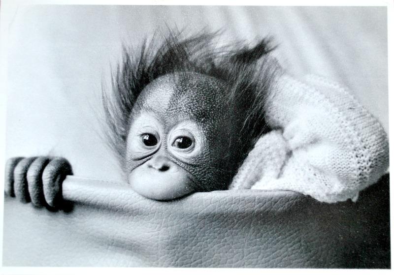 pocztówka z małą małpką