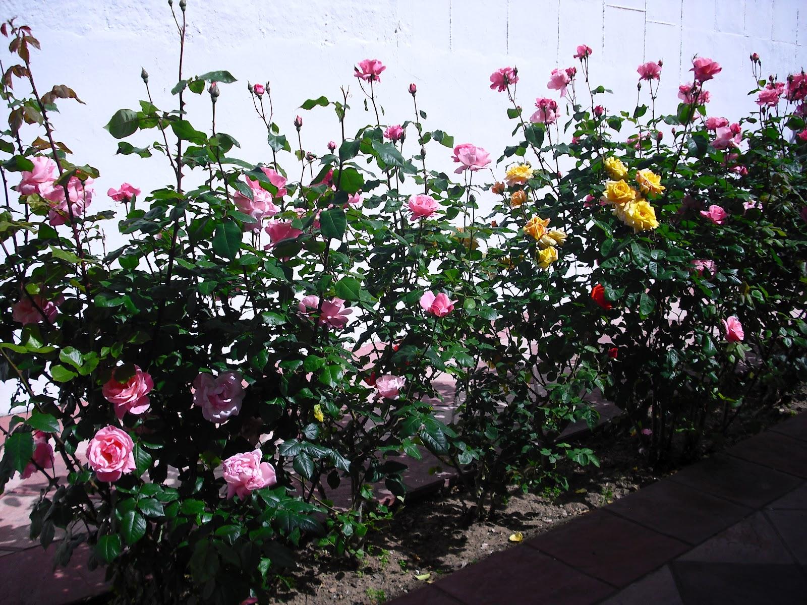 Le coqui hebdomadaire flores en el jard n - Plantas para el jardin todo el ano ...