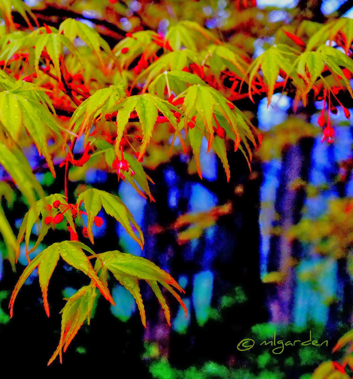 Spring foliage Japanese Maple